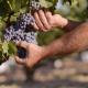 Tour de vino, paseo entre viñedos de la variedad Bobal